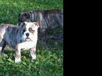 AKC Super cute brindle males. 12 weeks old. Excellent
