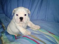 We have 4 awesome show quality English bulldog puppies