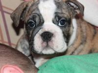 This is a male English bulldog puppy.. He has been vet