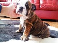 Akc English bulldog puppies 2 females 1 male left