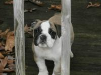 These AKC English Bulldog puppies are so cute and full