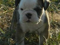 English Bulldog puppies. Home raised with lots of love