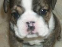 AKC English Bulldog puppies. Born Oct. 5th, ready now.