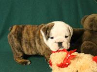 New puppies - These black/tan carrier English Bulldog