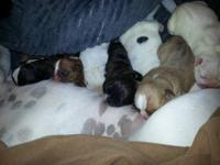 Adorable AKC English Bulldog Puppies available to their