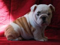 Champion Grand-Sired AKC Bulldog puppies Born January