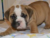 AKC English Bulldog new puppies. 2 females(brindles)