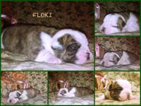 AKC English bulldog new puppies for sale 4males 1