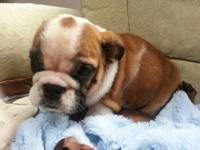 English Bulldog Puppies, AKC, charming markings, born