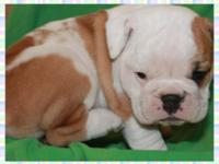 These beautiful AKC English Bulldog new puppies are