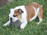 AKC English bulldog puppies. They have marvelous