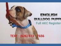English Bulldog Puppies- $1850.00 FULLY Registered AKC