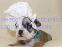 AKC English bulldog puppies, hand raised, first shots,
