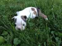 Full Registered AKC English bulldog puppies. Shots,