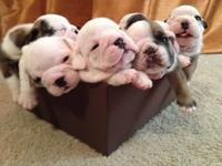 Lovable AKC English Bulldog Puppies prepared to find a
