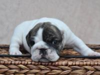 Stunning AKC English Bulldog Puppies. 3 Females / 1