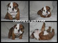 we have these stunning AKC english bulldog young