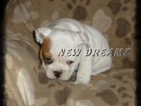 AKC English Bulldog Puppies. Champion Grand Sired. Our