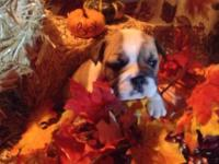 I have 9 akc English Bulldog young puppies. There is 6
