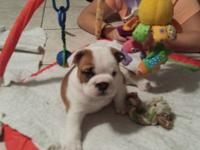 Akc registered English Bulldog young puppies. I have 2
