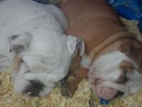 2 female AKC English Bulldogs for sale. The white one