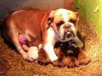 We have 7 AKC registered English bulldog puppies that
