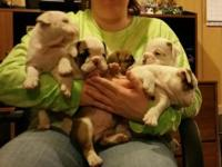 For Sale--AKC English Bulldog Puppies. Ready to go