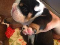 Gorgeous English Bulldog puppies avail. Both parents