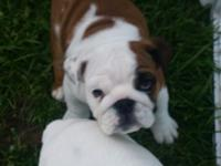 AKC English Bulldog puppy she is very sweet and loving.