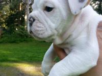 We have 3 beautiful English Bulldog puppies left for