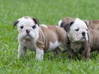 We have 2 AKC English Bulldog Puppies available. They