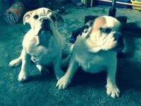 I have two AKC female English bull dog puppies for sale