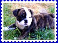 AKC English Bulldog puppies. Champion bloodlines. Born