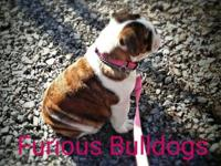 Akc english bulldog puppies available early next year