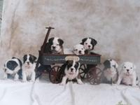We have 6 AKC  English bulldogs puppies.They are