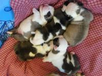 Beautiful english bulldogs...Will be red and white.