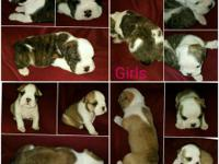 AKC English Bulldog puppies available in the Cincinnati