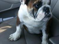 2 ENGLISH BULLDOG MALE PUPPIES. PUPPIES ARE AKC AND