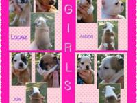Akc Full registration. English bulldog puppies.