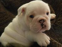 I have three AKC English Bulldog puppies available -