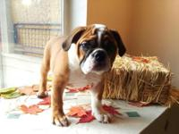 AKC registered English bulldog puppies ready for