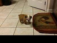 AKC English bulldog puppies, We have 3 adorable males
