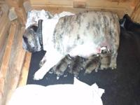 AKC English Bulldog puppies born Christmas Day! We are