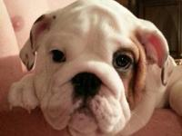ABSOLUTELY GORGEOUS ENGLISH BULLDOG PUPPIES NOW