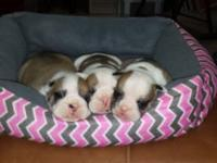 AKC English Bulldog champion bloodline puppies for sale
