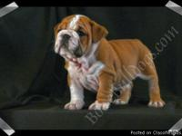 Boisebulldogs.com has a new litter available!