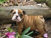 We are expecting a litter of English Bulldog puppies on
