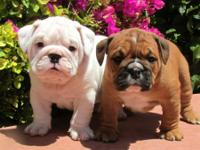 Eng.li.sh bul.ldog! !! 3 months old male and female!!