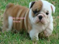 We have beautiful AKC Registered English Bulldog