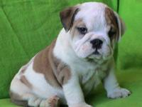 We have a cute male and female English bulldog pups
